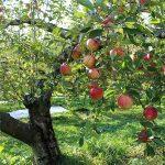 old paths baptist church salvation apple tree